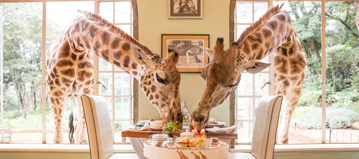 Giraffe-Manor